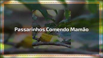 Passarinhos Comendo Mamão, A Natureza É Muito Linda, Confira!