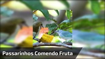 Passarinhos Comendo Pedaço De Mamão Em Uma Árvore, Veja Que Lindos!