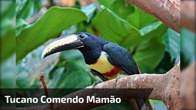 Pássaro Comendo Mamão Em Árvore, O Mundo Animal É Fantástico!