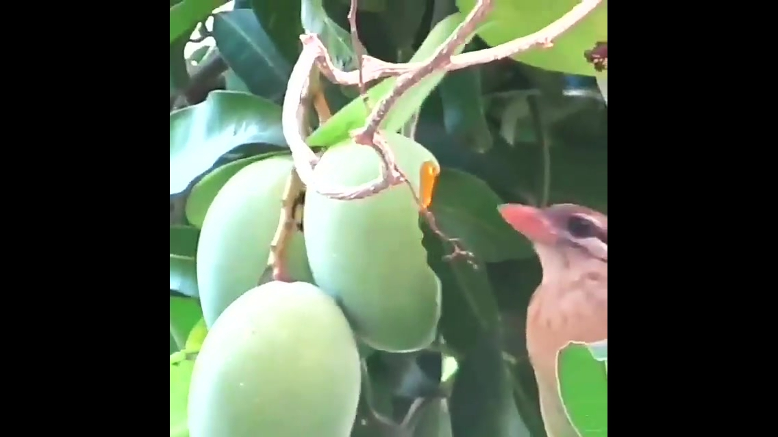 Pássaro comendo uma deliciosa manga direto do pé
