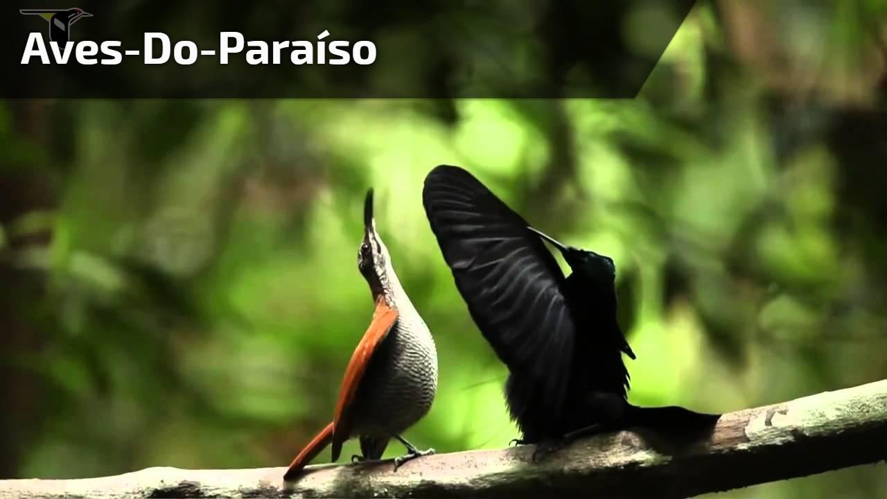 Aves-do-Paraíso
