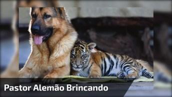 Pastor Alemão Brincando Com Tigre-De-Bengala, Que Cena Mais Linda!