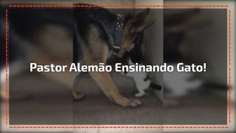 Pastor Alemão Ensinando Filhote De Gato A Subir Escadas, É Muito Fofo!