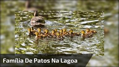 Pata Com Seus Filhotinhos Na Lagoa, Olha Só Que Lindinhos!