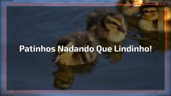 Patinhos Nadando Em Pequeno Riacho Feito Para Eles, Que Belezinha!