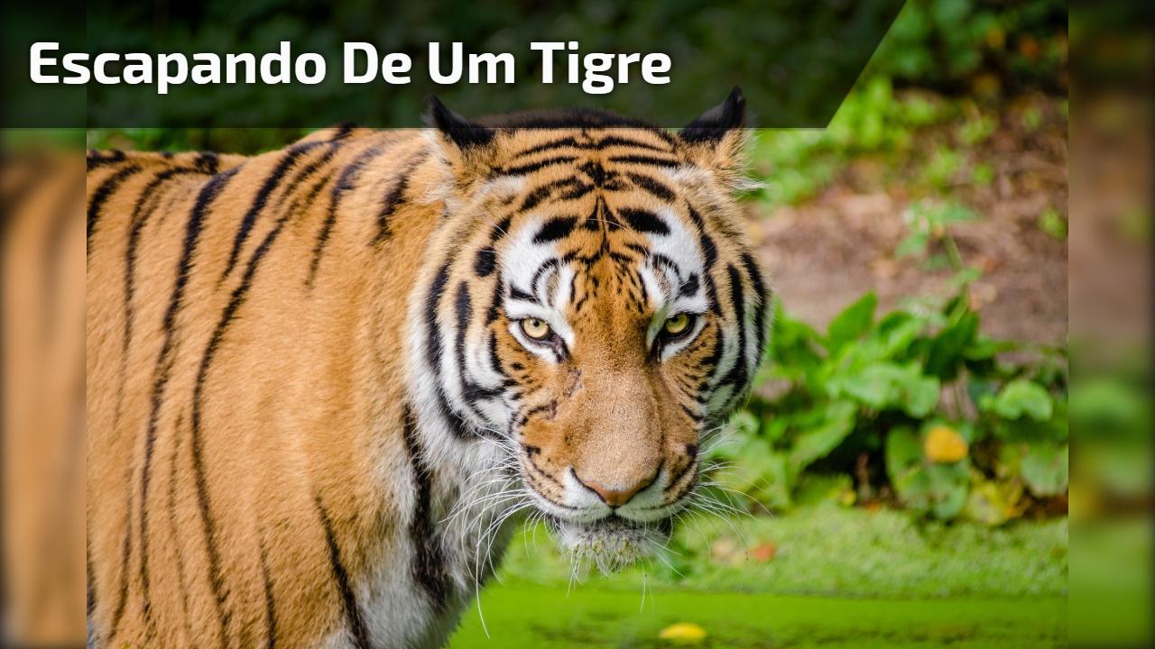 Escapando de um tigre
