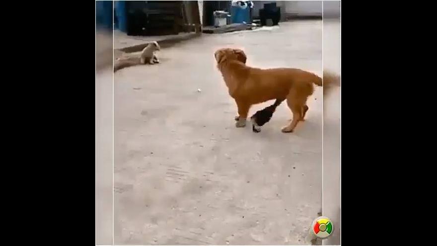 Pato dando um susto enorme no cachorrinho