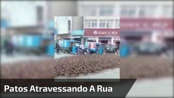 Patos Atravessando A Rua E Parando O Trânsito, Confira A Quantidade!