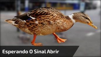 Patos Esperam Sinal Abrir Para Eles Atravessarem A Rua, Muito Legal!