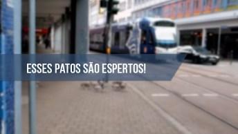 Patos Esperam Sinal Abrir Para Poderem Atravessar A Rua, Que Inteligentes!