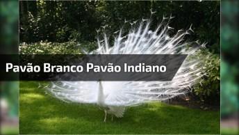 Pavão Branco, E Pavão Indiano, Aves Que Nos Enche Os Olhos De Tanta Beleza!