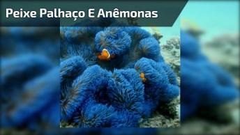 Peixe Palhaço Se Escondendo Nas Anêmonas Azuis, Veja Que Lindo!