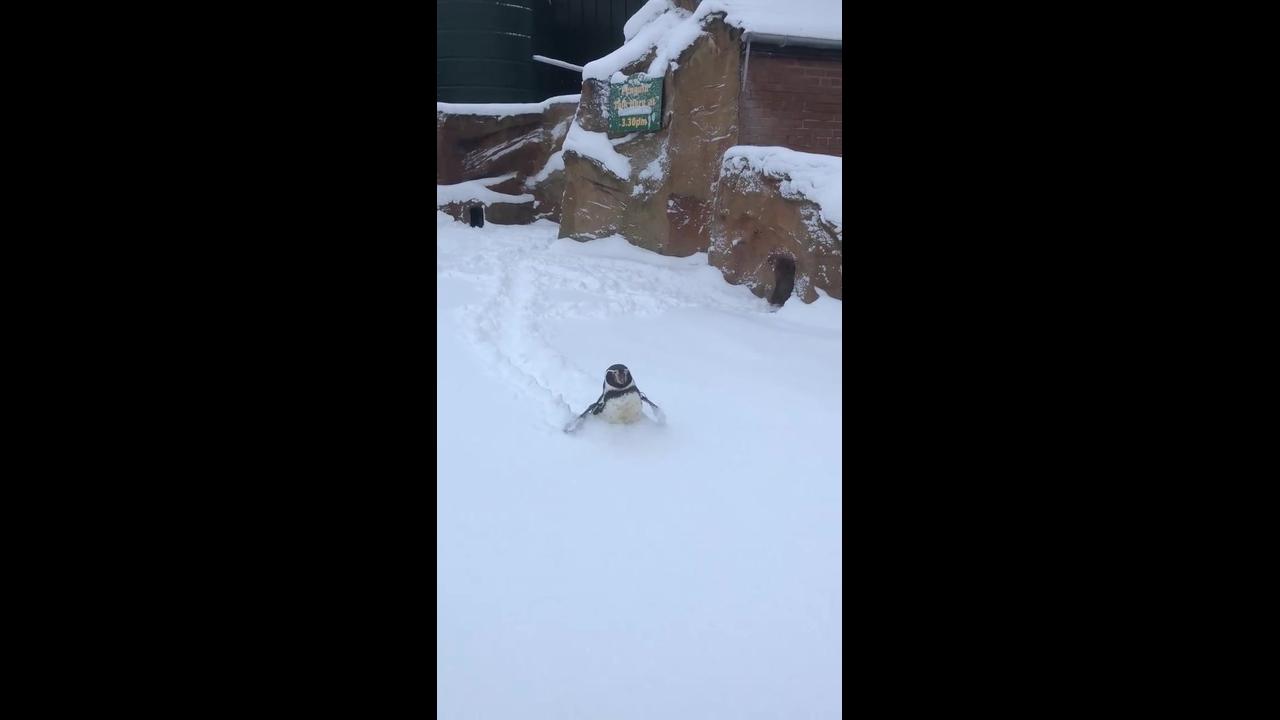 Pinguim atolado na neve, o coitado ficou até cansado