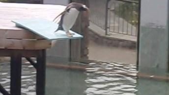 Pinguim Com Medo De Água, Ele Ainda Caiu Sem Querer Hahaha!