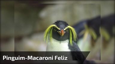 Pinguim-Macaroni Dando Show De Alegria, Hahaha! Olha Só Como Ele Pula!
