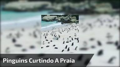 Pinguins Curtindo A Praia, Olha Quantos Que Estão Na Areia!