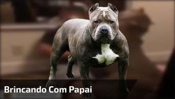 Pit Bull Brincando Com Papai, Esta Raça É Cheia De Amor E Carinho!