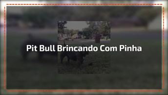 Pit Bull Brincando Com Uma Pinha, Olha Só Este Rabinho Balançando!