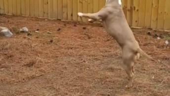 Pit Bull Brincando De Morder Uma Corda, Ele É Muito Lindo, Confira!