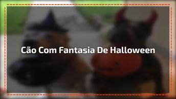 Pit Bull Com Fantasia De Halloween, A Carinha Deles É Muito Engraçadinha!