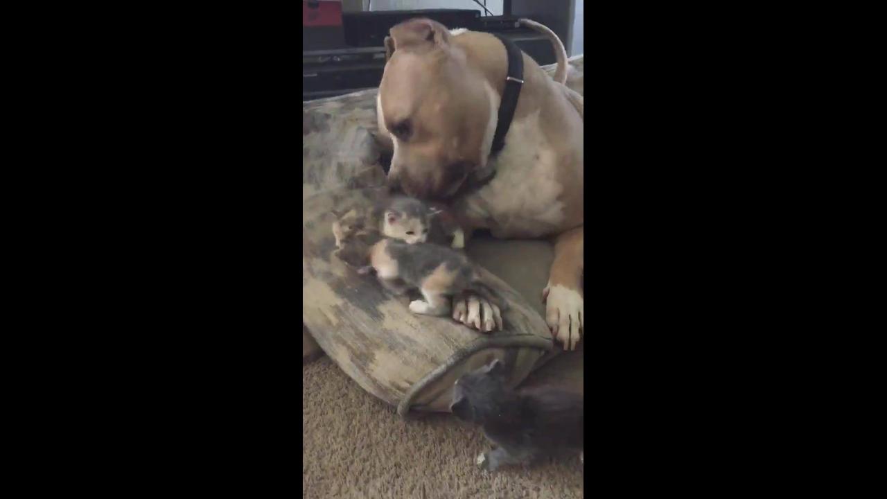 Pit bull cuidando de filhotinhos de gato