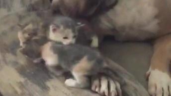 Pit Bull Cuidando De Filhotinhos De Gato, Olha Só Que Amor!