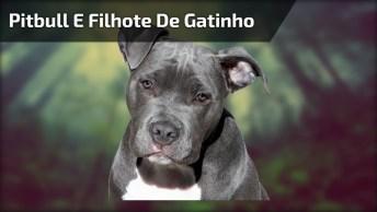 Pit Bull E Filhote De Gatinho, Um Vídeo Cheio De Amor, Confira!