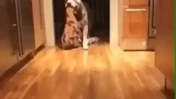 Pit Bull Pegando Sua Cobertinha Para Ir Dormir No Quarto, Veja Que Fofo!