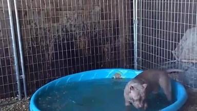 Pit Bull Se Refrescando Na Piscina, Olha Só Como Gosta De Água!