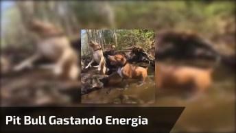 Pit Bull Treinando Na Floresta, Veja O Tamanho Deste Animal É Incrível!