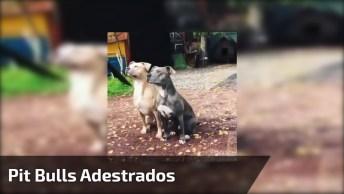 Pit Bulls Adestrados, Olha Só A Atenção Deste Cachorro Incrível!