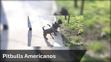 Pitbulls Americanos, Uma Família De Cães Lindos, Confira!