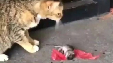 Plano Estratégico De Ratinho Para Fugir De Um Gato, Que Engraçado Hahaha!