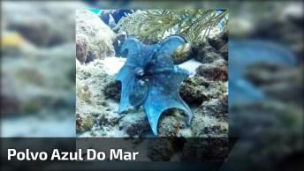 Polvo Azul, Um Animal Marinho Que Você Vai Gostar De Conhecer!