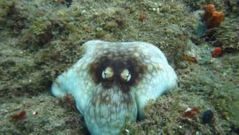 Polvo Se Camuflando No Fundo Do Mar, Imagens Incríveis De Se Ver!