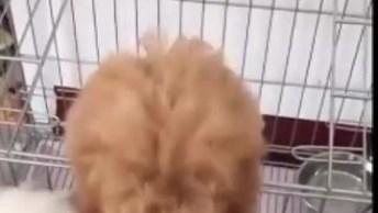Poodle Ajuda O Outro Poodle Fugir Do Cercadinho, Olha Só Que Inteligencia!