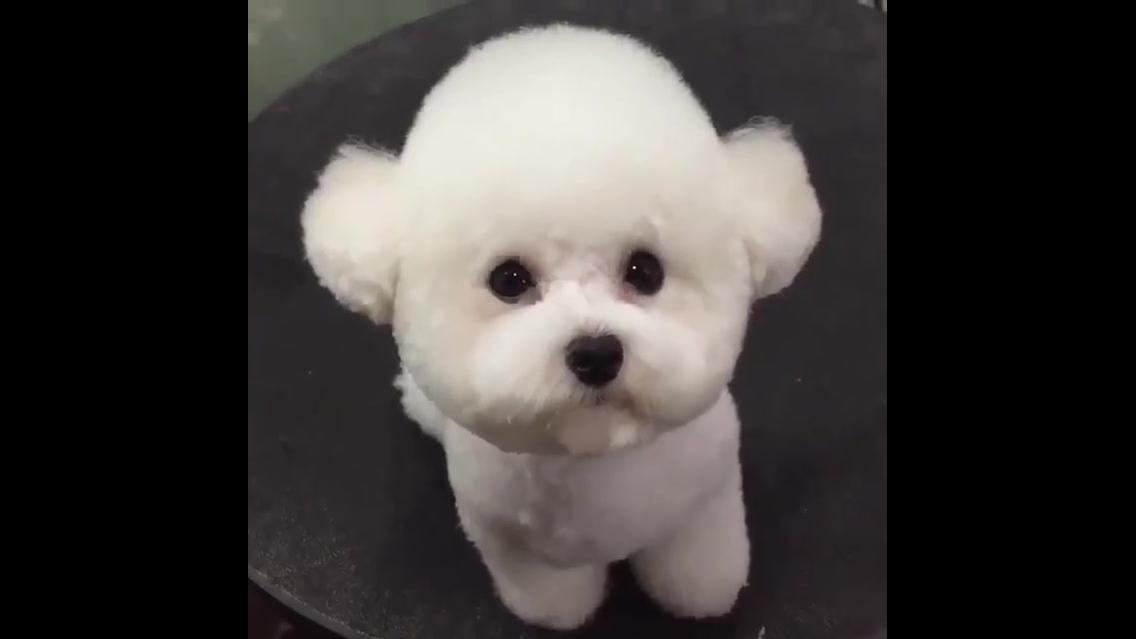Poodle antes e depois do banho