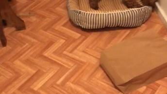 Poodle Brincando Com Pedacinho De Osso, Olha Só A Festa Que Ele Faz!