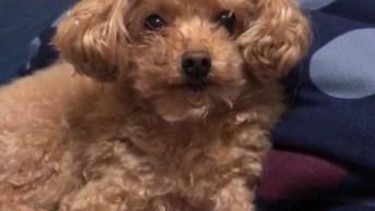 Poodle Caramelo Parece Um Ursinho De Pelúcia, Olha Só A Carinha Fofinha Dele!