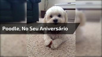 Poodle Comemorando Seu Aniversário, Olha Só Que Coisinha Mais Fofa!