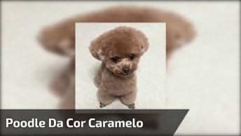 Poodle Fofinho Da Cor Caramelo, Ele Parece Um Ursinho De Tão Bonitinho!