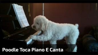 Poodle Toca Piano E Canta, Olha Só Como Ele É Espertinho Gente!