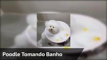Poodle Tomando Banho, Olha Só Esta Carinha Mais Fofinha Gente!