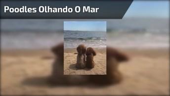 Poodles Só Curtindo As Ondas Do Mar, Olha Só Esta Imagem Super Fofa!