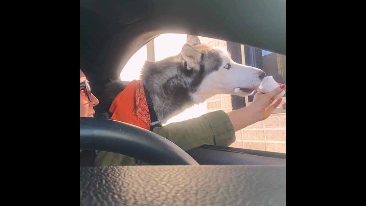 Por que o Husky siberiano é o melhor cachorro do mundo? Veja no video!