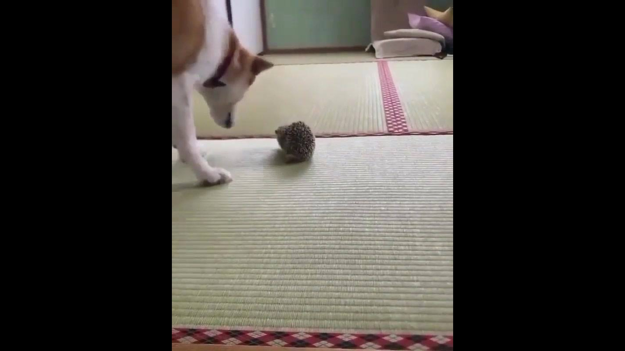 Porco espinho e o cachorro, uma dupla muito engraçada