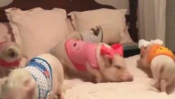 Porcos E Pug, Será Que Você Consegue Achar O Pug Nessa Cama?