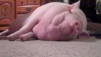 Porquinho Adora Carinho Na Barriga, Olha Só O Barulhinho Que Ele Faz, Hahaha!
