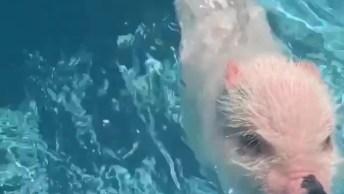 Porquinho Aprendendo A Nadar, Olha Só Que Coisinha Mais Fofinha!