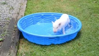 Porquinho Brincando Em Uma Pequena Piscina, Olha A Festa Que Ele Faz!